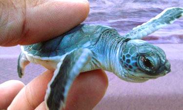 Heritance Ayurveda Maha Gedara Schildkrötenfarm